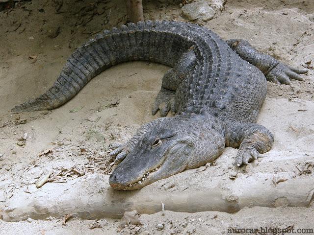 Ordem: Crocodylia Família: Alligatoridae