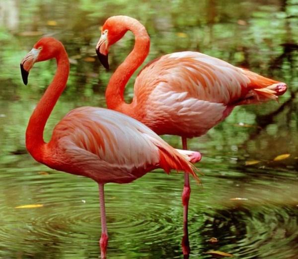 Tìm hiểu bí mật của chim Hồng Hạc: đứng một chân ngay cả khi đã chết, in hồng hạc