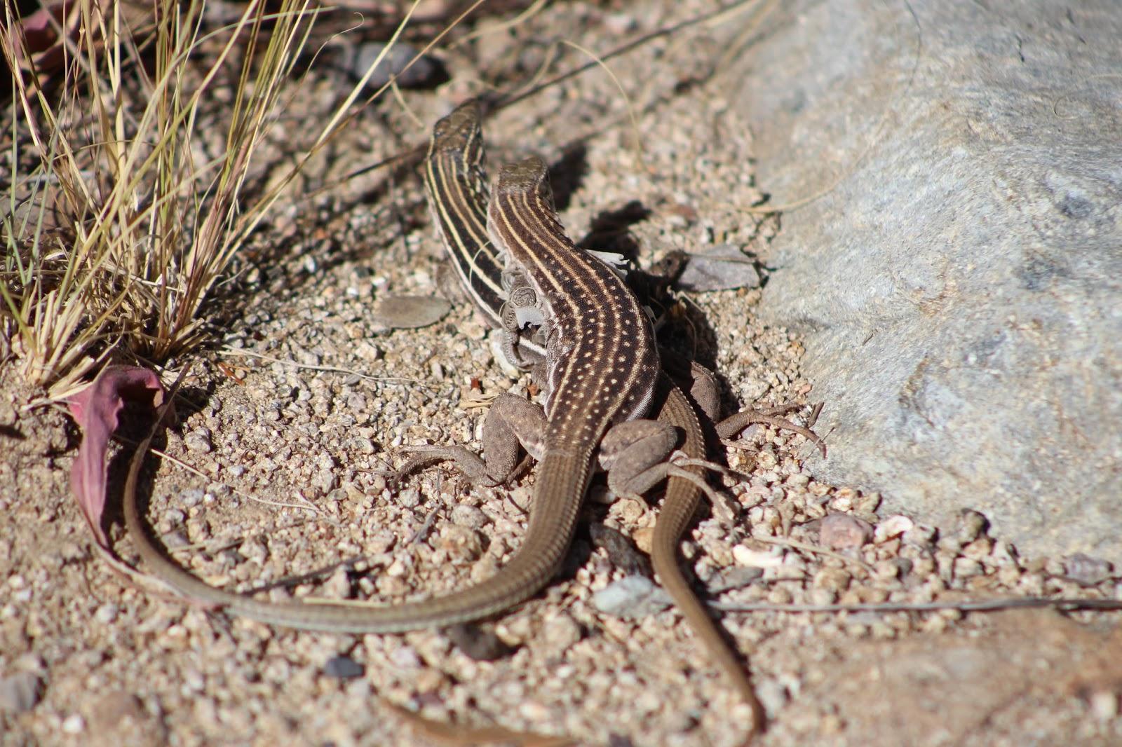 Sem machos, lagartos lésbicas fazem sexo e conseguem se reproduzir
