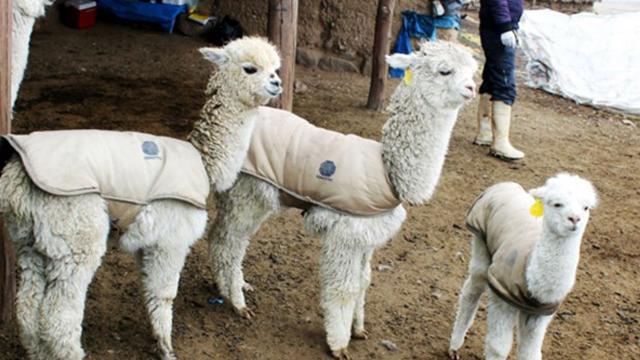 Juli ya cuenta con un Banco de Germoplasma de alpacas