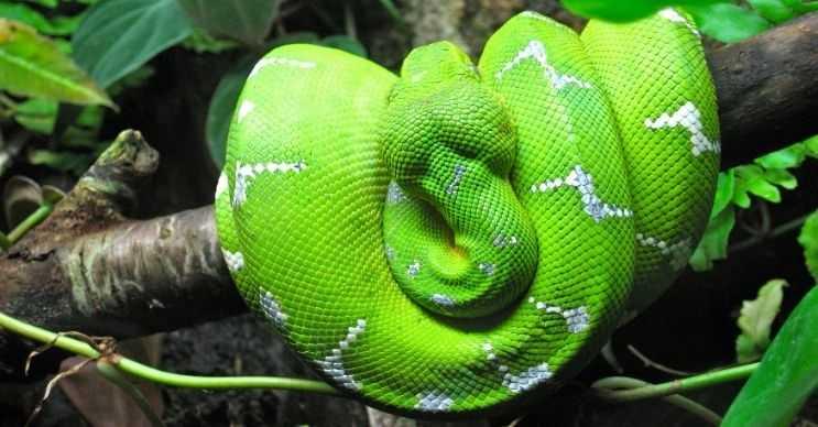 Boa yılanlarının çok farklı renklerde pulları vardır, hatta bazılarının desenleri de değişiktir.