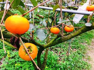 甜柿|偲僩農場