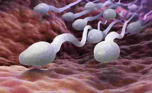 """Tips Bagaimana Cara Memperbanyak dan Memperbaiki Kualitas Sperma Dengan Makanan - Bagi pria yang ingin mempunyai keturunan, kesehatan dan jumlah sperma, merupakan hal penting yang tidak boleh diabaikan. Apabila Anda merasa jumlah sperma sedikit, ada beberapa makanan yang bisa dikonsumsi, demi kuantitas sperma yang melimpah.    Pola makan ternyata sangat berpengaruh terhadap kesehatan sperma. Maka dari itu, merubah pola makan dari buruk ke sehat adalah kunci.  Apabila Anda merasa jumlah sperma di bawah rata-rata, ada beberapa cara meningkatkan sprema dengan makanan yang bisa dikonsumsi. yaitu :    Cara Memperbanyak dan Memperbaiki Kualitas  Sperma Dengan Makanan   1. Makan Makanan Yang kaya Folat Folat adalah vitamin B yang sering dikaitkan dengan kesehatan sperma. Jika kadar folat Anda lemah, bisa jadi DNA sperma Anda """"rusak"""", sehingga jumlahnya pun tidak banyak. Makanan yang kaya akan  folat yaitu :  Makanan yang bersumber dari hewan seperti hati ayam, hati sapi, dan daging unggas. Sayur-sayuran hijau seperti bayam, asparagus, seledri, brokoli, buncis, lobak hijau, wortel, kacang panjang, dan selada. Buah-buahan seperti alpukat, buah sitrus (jeruk nipis, lemon, jeruk bali, dan lain sebagainya), buah bit, pisang, tomat, dan cantaloupe atau melon jingga. Biji-bijian seperti biji bunga matahari (kuaci), gandum dan produk olahan gandum (pasta), dan jagung. Kacang-kacangan seperti lentil, kacang polos hitam, kacang kedelai, kacang merah, kacang hijau, serta kacang polong. Sereal yang diperkaya dengan folat atau asam folat. Kuning telur.   2. Makan Makanan Yang Kaya Zinc Zinc terbukti memainkan peran penting dalam mengatur jumlah sperma dan kualitasnya. Pria yang tidak subur, cenderung memiliki kadar zinc rendah dalam tubuhnya. Untuk meningkatkan kadar zinc dalam tubuh. Makanan yang mengandung kaya akan  zinc yaitu :  Daging Sapi. Tidak hanya berperan sebagai sumber protein yang baik. Lebih dari itu, daging sapi juga dibekali berbagai nutrisi dan mineral penting termasuk"""