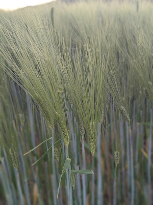 Getreidefeld Hintergrund weichgezeichnet