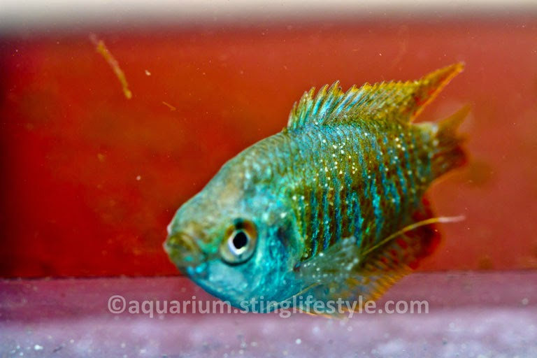 Tropical fish diseases white spot tropical fish disease for Fish diseases pictures