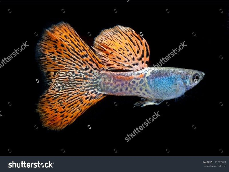 Ikan Guppy Murah