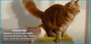 Kucing maine coon cirinya