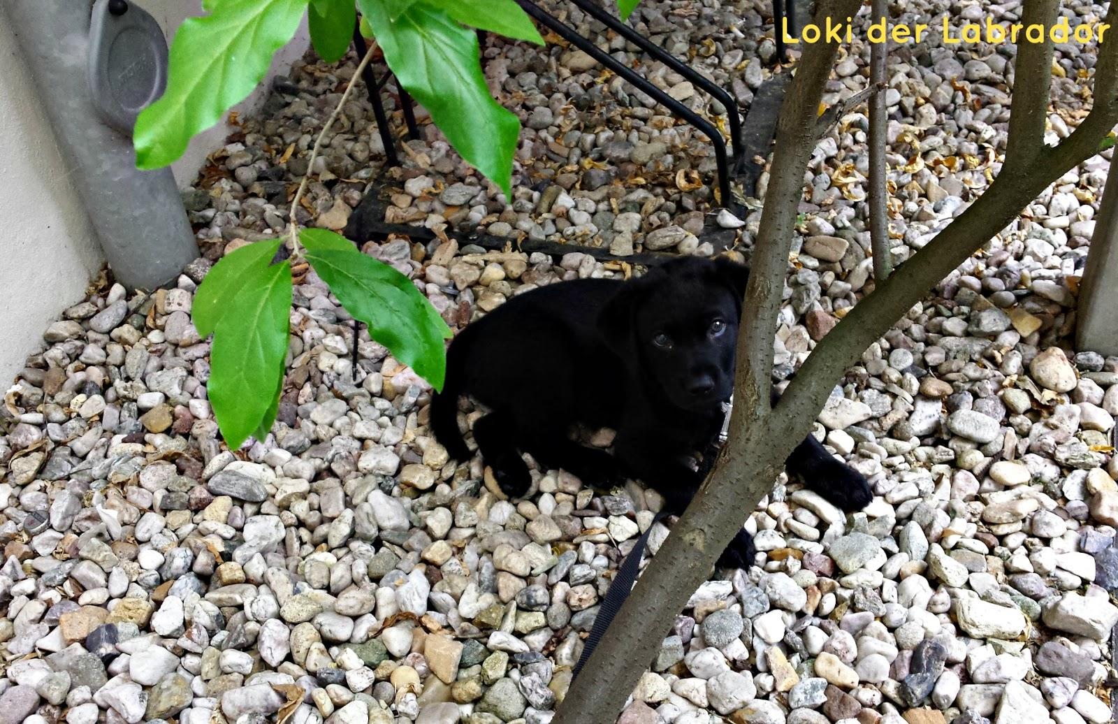 Labrador Welpe Stubenrein Kloplatz