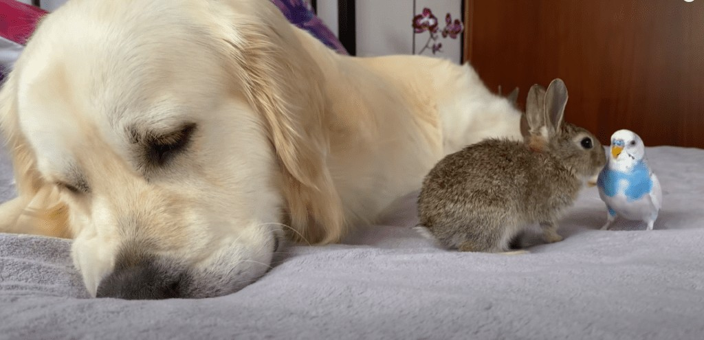 These lovely bunnies thought this golden retriever was their father