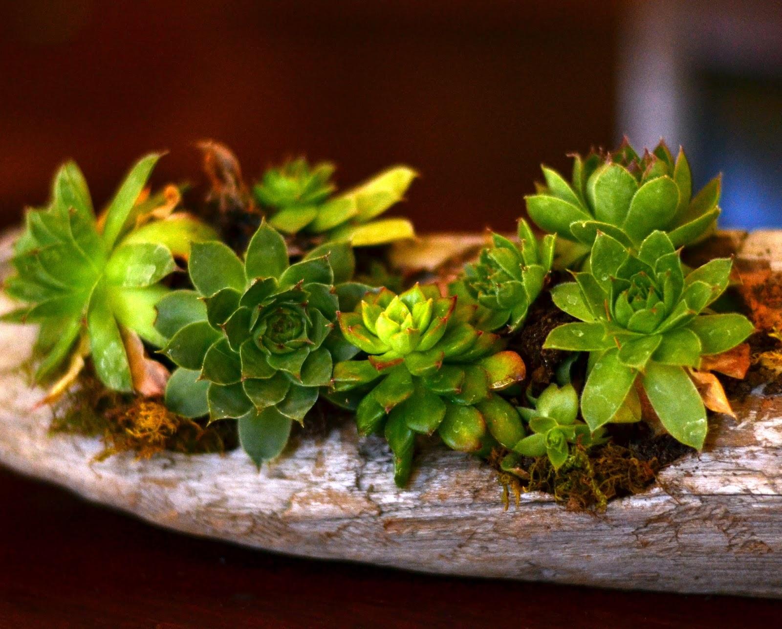 Driftwood succulent planter | <datFeata:blog title