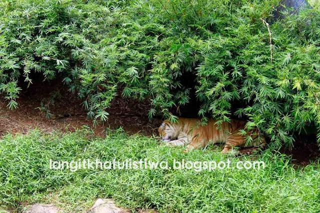 Koleksi harimau, singa, kucing hutan, macan dahan, gajah