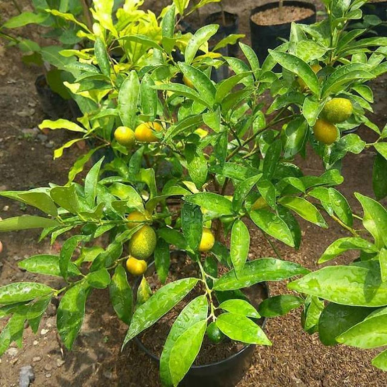 bibit jeruk nagami berbuah bibit jeruk nagami berbunga bibit jeruk nagami Malang