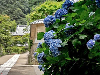Ajisai (Hydrangea macrophylla) flowers: Engaku-ji
