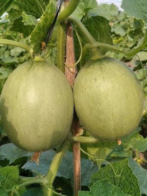 Bakal buah melon