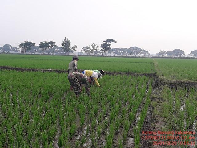Babinsa Newung : Bersihkan Gulma Cara Ampuh Hindari Gagal Panen