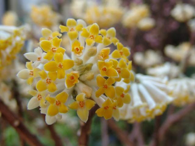 Fiori Edgeworthia chrysantha