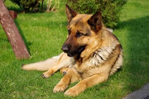 أنواع الكلاب بالصور واسمائها