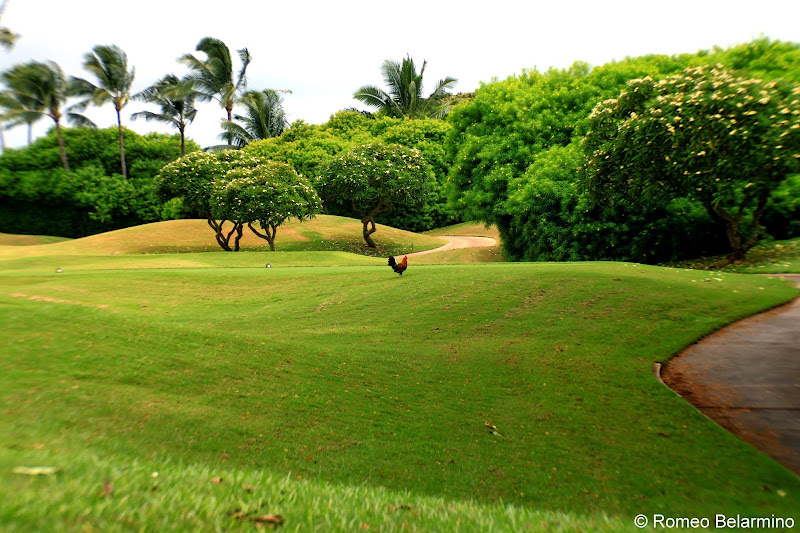 Hawaiian Rooster Kauai Lagoons Golf Club Hawaii