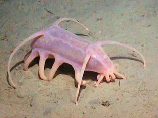 babi laut