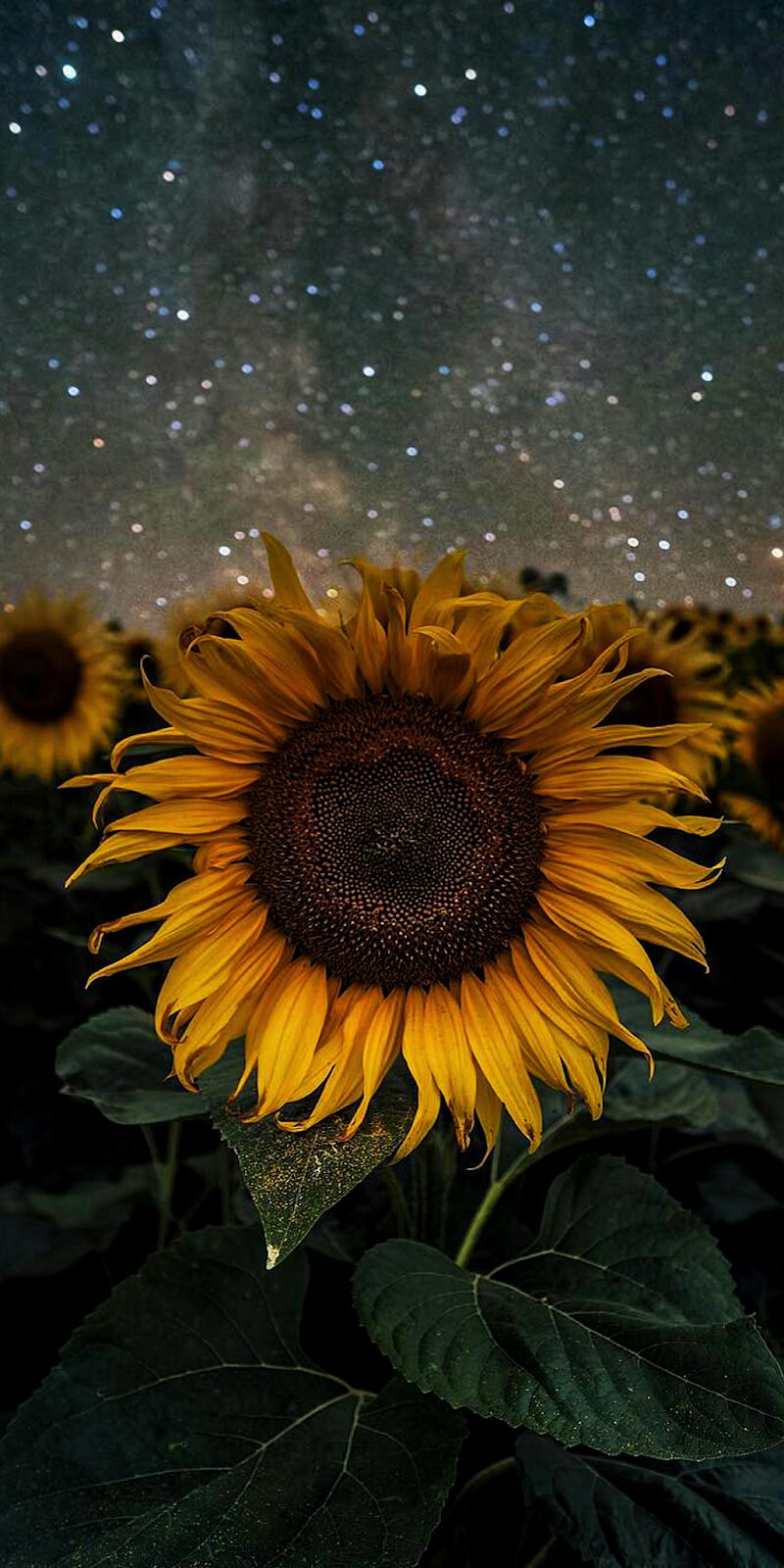Hình nền hoa hướng dương giữa bầu trời đêm đầy sao