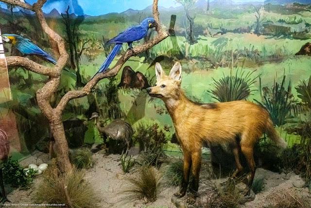 Museu de História Natural Capão da Imbuia - MHNCI - diorama com lobo-guará, arara, tatú e outros animais