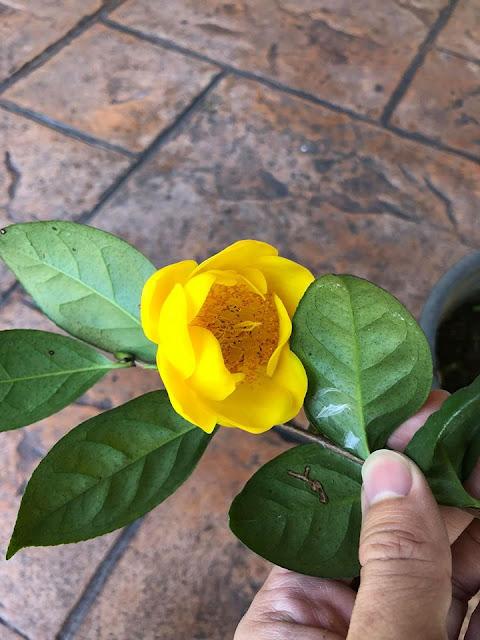 Camellia chungtsoensis in full bloom.