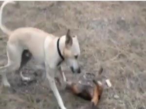 कुत्ते और चिंटीखोर की मजेदार लड़ाई   dog vs anteater fights