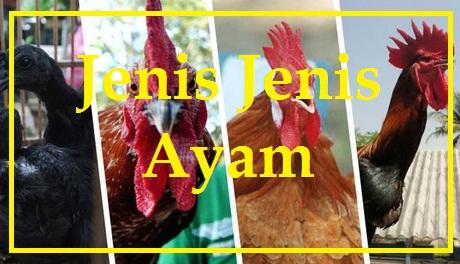 Gambar Perbedaan Ayam Ras Dan Ayam Buras