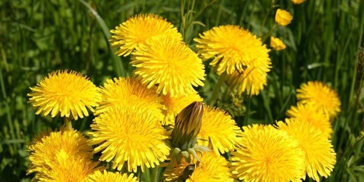 maslačak-ljekovito_bilje-prirodno_liječenje