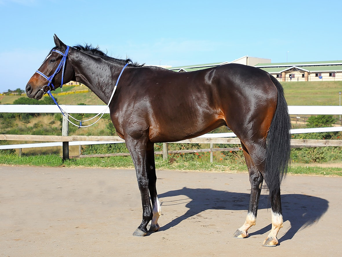 Matador Man - Horse Profile - Breeder: Scott Bros - Sire: Toreador (IRE) - Dam: Sahara by Mogok (USA)