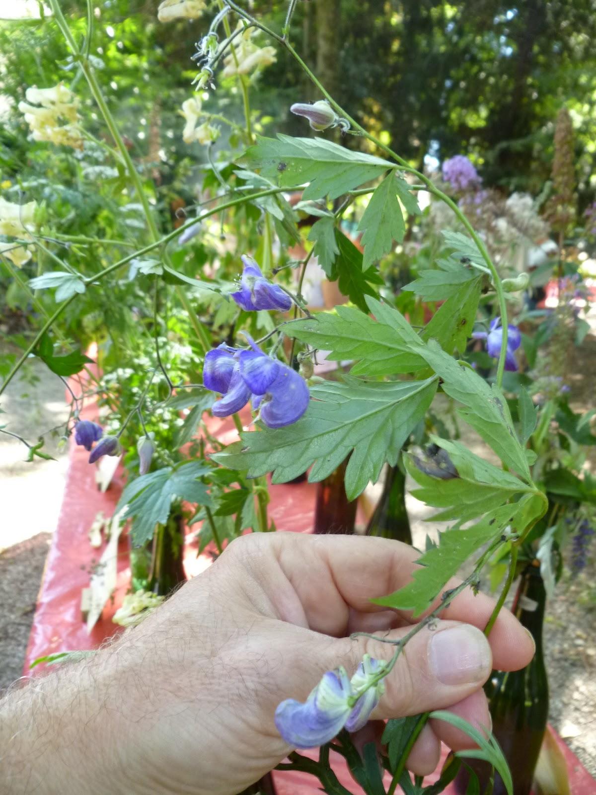 vaso 14cm-Piante Aromatiche Pianta di Ruta erbe aromatiche Ruta