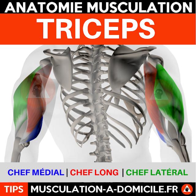 musculation à domicile anatomie des muscles triceps arrière du bras