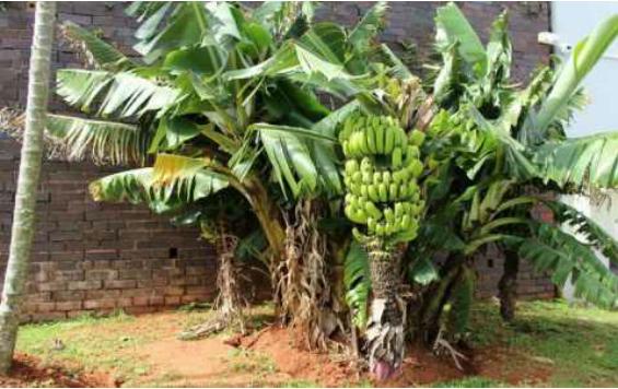Ternyata Pohon Pisang Adalah Tanaman Herbal Terbesar di Dunia, TERUNGKAP!