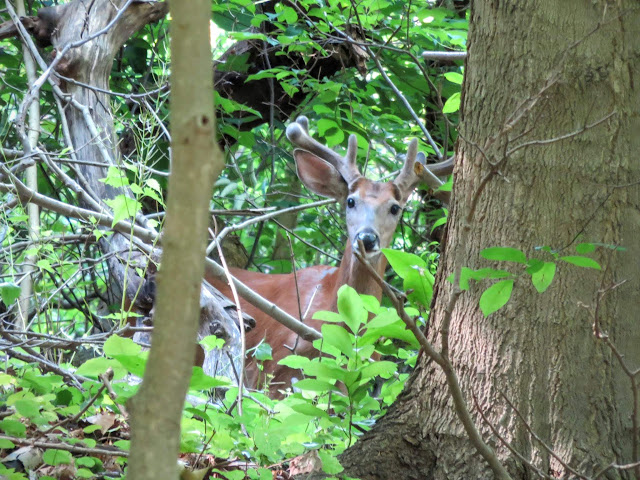 Deer in Pittsburgh's Schenley Park