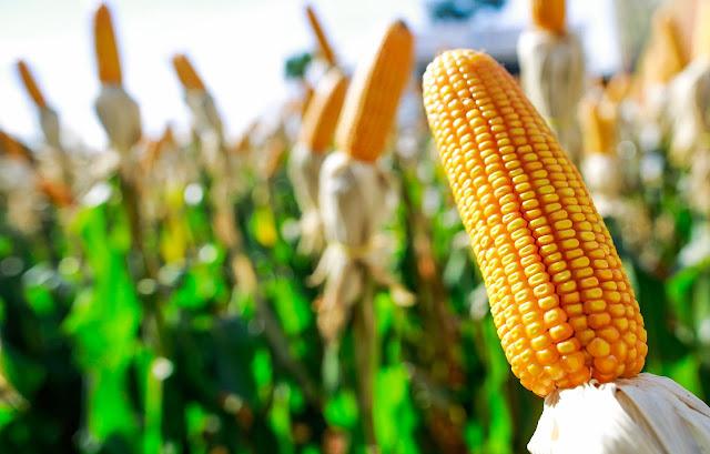 Safra de grãos em janeiro deve ter alta de 1,9% segundo IBGE