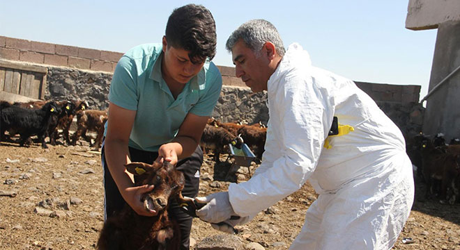 Her yaştaki hayvanlar için küpeleme ve bildirim affı çıktı
