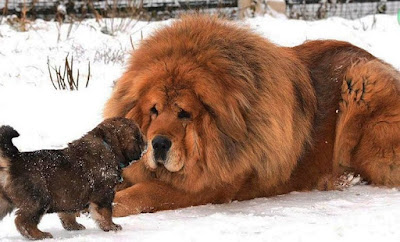 Dogo sobre la nieve, dogo Tibetano, perro, nieve