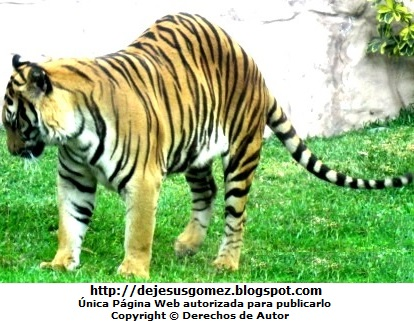 Foto de un tigre parado en sus 4 patas en el Parque de las Leyendas. Foto del tigre de Jesus Gómez