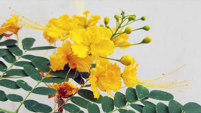 ดอกหางนกยูงไทยสีเหลือง