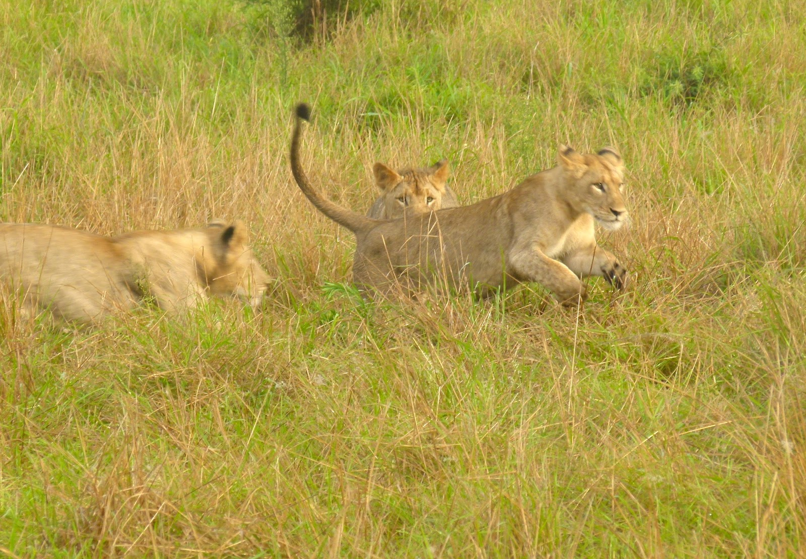 Mountain Lion Killed After Preying on Sheep   Oklahoma ...  Man Eaten By Lion In Front Of Family