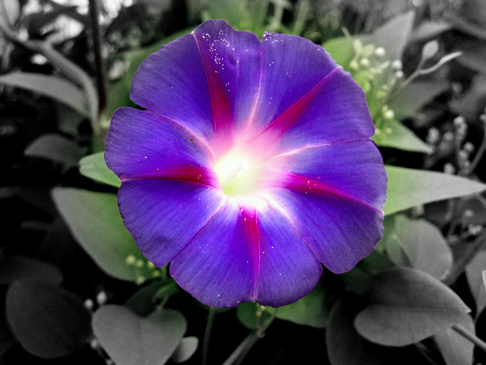 Flowers For Flower Lovers Morning Glory Flowers Pictures