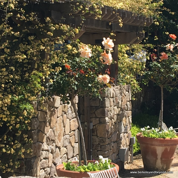 blooming roses at The Farmhouse Inn in Forestville, California