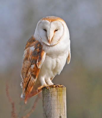 Barn Owl | Amazing Animal Basic Facts & Pictures | Animals ...