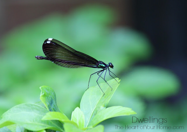 Female Ebony Jewelwing Damselflies