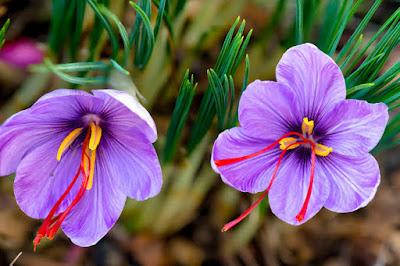 Know health benefits of saffron