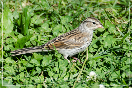 Juvenile Chipping Sparrow. Copyright © Shelley Banks, All Rights Reserved.