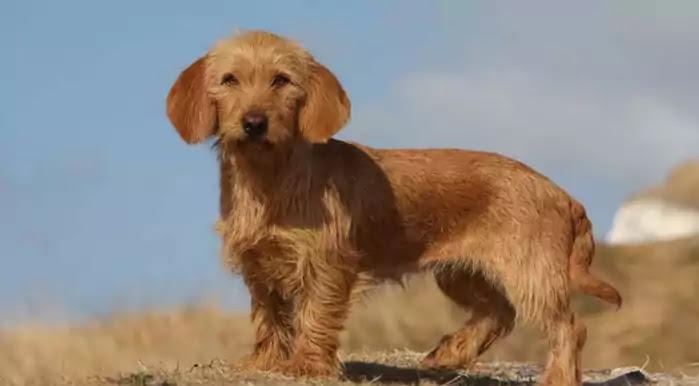 Basset Fauve de Bretagne Dog Breed