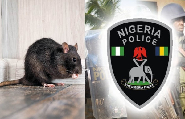 Shocking As Rats Ate Dead Baby's Ear At Anambra Hospital – Police