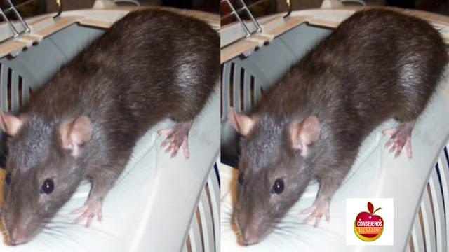 Bebé fue comida viva por ratas gigantes mientras su madre se divertía en una fiesta