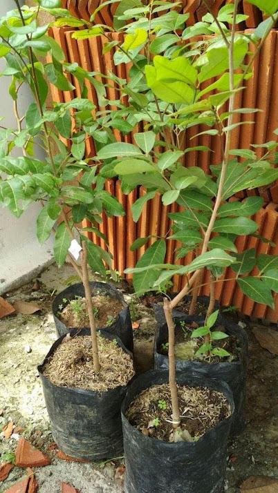 Bibit tanaman buah Kelengkeng Puangray Sambunh atau Okulasi Cepat Berbuah Riau